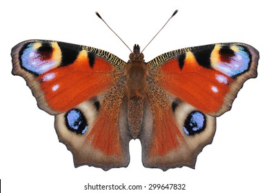European Peacock butterfly (Inachis io) - perfect details by macro lens