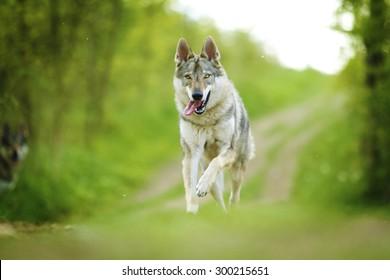 美しい若いチェコスロバキアの狼犬犬サーロスウルフハウンドの子犬が走って飛んでいます
