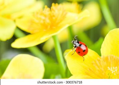red ladybug on yellow flower. studio shot