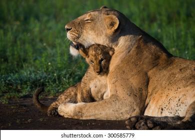 Lioness hugging her cub masai mara kenya