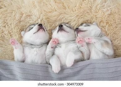 Trzech siberian husky szczeniąt śpiących pod szarym kocem