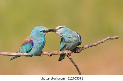 男性の求愛が女性に昆虫をもたらす間、枝に立っているブレストローラーカップル(Coraciasgarrulus)