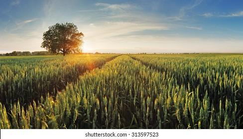 Wheat field at sunset