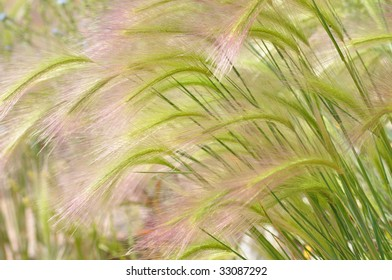 FOXTAIL BARLEY GRASS (HORDEUM JUBATUM)