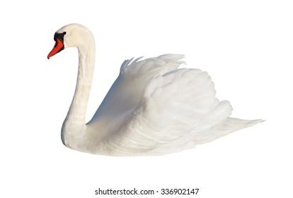 ふわふわの白い白鳥、白い表面に分離。