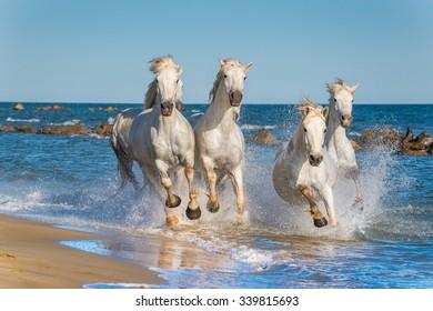 夕日の光の中で水の中を疾走する白いカマルグ馬の群れ。カマルグ自然公園-フランス、プロヴァンス