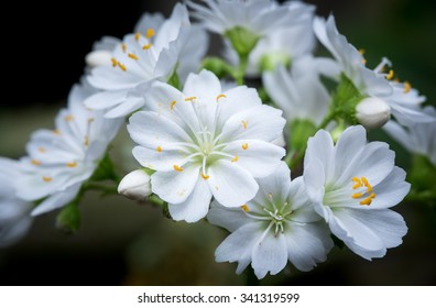 Lewisia Cotyledon Forma Alba Close Up