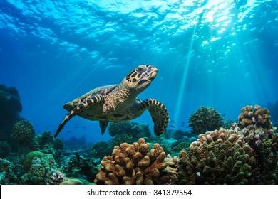 Beautiful Underwater Postcard. Maldivian Sea Turtle Floating Up And Over Coral reef. Loggerhead in wild nature habitat