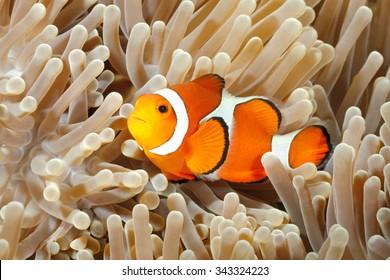 アネモネの家の触手の間を泳ぐカクレクマノミ、Amphiprionpercula。トランベン、バリ島、インドネシア