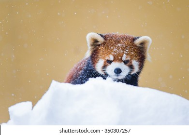雪の冬に遊ぶレッサーパンダ