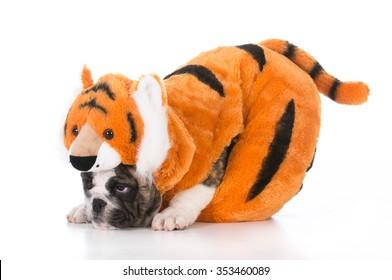 白い背景の上の虎の衣装を着ているブルドッグの子犬