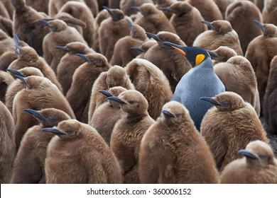 Volwassen koningspinguïn (Aptenodytes patagonicus) staat tussen een grote groep bijna volgroeide kuikens op Volunteer Point op de Falklandeilanden.