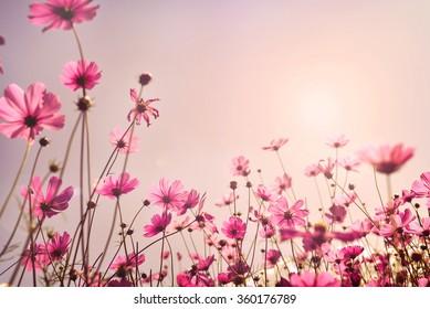 コスモス畑のピンク色。バレンタインデーの背景コンセプトの甘い愛