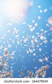 Khung cảnh tráng lệ của những cánh hoa anh đào bồng bềnh và được thổi trong gió xuân với ánh nắng. Tiêu điểm là cành cây anh đào bên dưới. Độ sâu trường ảnh và độ mờ chuyển động có chủ ý ..