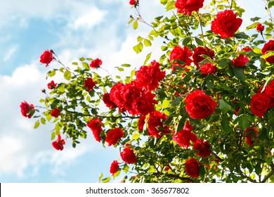 Roter Rosenbusch im Garten