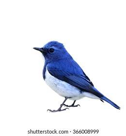 Schön von blauem Vogel Ultramarin Fliegenfänger lokalisiert auf weißem Hintergrund, Ficedula superciliaris