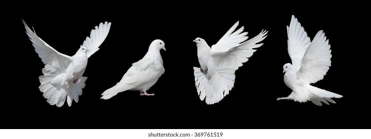 黒の背景に分離された4つの白い鳩
