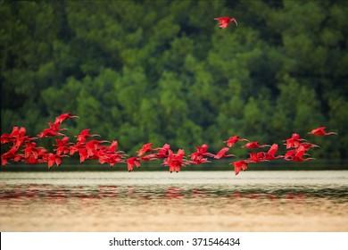 群れと1羽の孤立した美しい真っ赤な鳥ショウジョウトキEudocimusruberが一晩中戻り、鏡の水面の上を飛んでいます。赤と緑のコントラスト。カロニ、トリニダード。