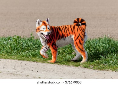 虎に塗り直されたサモエド犬。手入れの行き届いた犬。ペットのグルーミング。サモエド犬