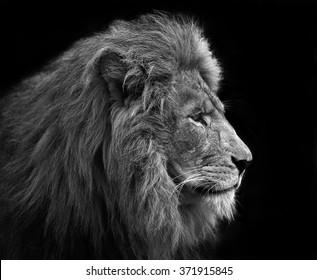 Löwe, Schwarzweiss-Kopfschuss eines erwachsenen Löwen.