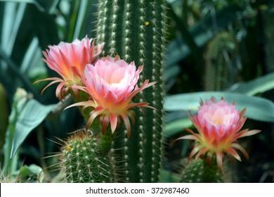 hellviolette Blume des Kaktus in der Wüste