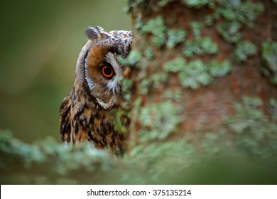 Hidden portrait of Long-eared Owl with big orange eyes behind larch tree trunk, wild animal in the nature habitat, Sweden.