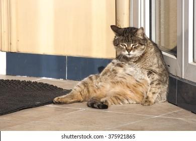 通りで日光浴をしている怠惰な猫。太った猫。