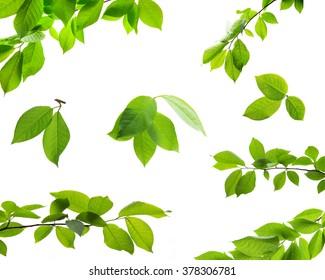 Satz grüne Baumblätter und Zweige mit Regentropfen lokalisiert auf weißem Hintergrund