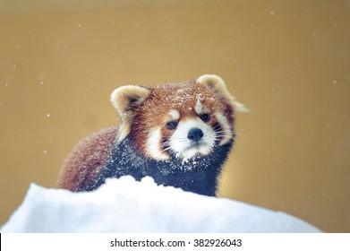 雪の冬、ヴィンテージで遊ぶレッサーパンダ