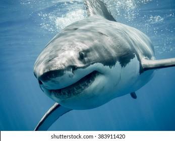 ホオジロザメの笑顔