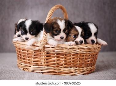 小さな子犬はバスケット、クローズアップでパピヨンを繁殖させます
