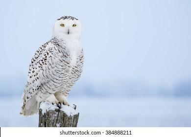 シロフクロウ、Bubo Scandiacusは、鋭い黄色い目とアイコンタクトをしているポストに腰掛けています。淡雪。