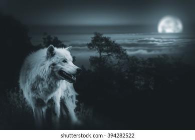 Wolf der König der Wildnis. Weißer Alpha-Wolf während der Vollmondnacht auf der Suche nach einer Beute in der Wildnis.