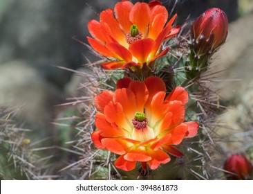 Schöne blühende wilde Wüstenkaktusblume