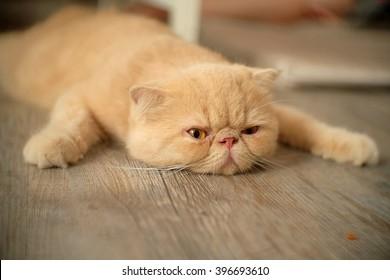 怠惰な猫。フル。床で眠っています。