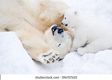 Weiblicher Eisbär, der mit ihrem kleinen Jungen auf dem Schnee spielt