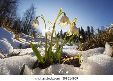 カルパティアウクライナの森に熱が来ると雪が溶けます最初に繊細な花がありますサクラソウ雪滴が小川の近くで育ちます、湿った土壌への沼はレッドブックに記載されています