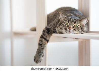 怠惰な縞模様の猫は棚に横たわっています