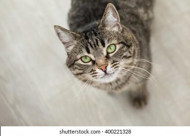 緑の目を持つ縞模様の猫はカメラを見上げます