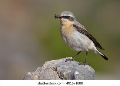 ハシグロヒタキ(Oenanthe oenanthe)とヒナの餌やり中の毛虫。岩場の石の上に座っています。