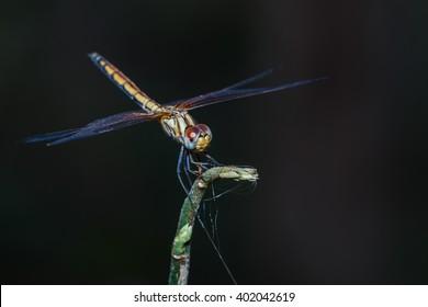 Libélula, insecto, animal, naturaleza, alas. (Centrarse en los ojos)