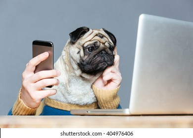 Thoughtful pug dog with man hands in sweater using laptop and cell phone over grey background
