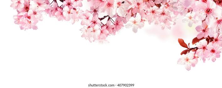 Verträumte Kirschblüten als natürliche Grenze, Studio lokalisiert auf reinem weißen Hintergrund, Panoramaformat