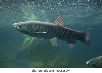 ソウギョ(Ctenopharyngodon idella)。野生動物。
