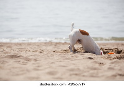 Little Jack Russell puppy playing with frisbee disc on the beach digging sand. Cute small domestic dog, good friend for a family and kids. Friendly and playful canine breed