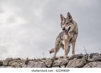 曇った背景の廃墟の上に立っているオオカミ