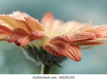 Flor del gerbera de la margarita anaranjada con los waterdrops. Estilo de Instagram tonificado