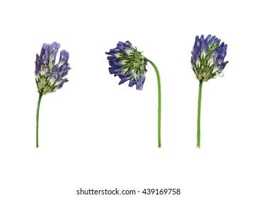 Gepresste und getrocknete Blüten astragalus dasyanthus. Auf weißem Hintergrund isoliert. Zur Verwendung in Scrapbooking, Floristik (Oshibana) oder Herbarium.