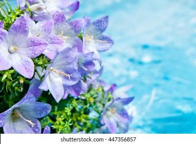 Weiße und lila Glockenblume. Schöner Frühlingshintergrund mit Campanula-Strauß.