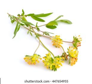 Astragalus. Gebräuchliche Namen sind Milchwicke, Locoweed und Ziegendorn. Isoliert auf weißem Hintergrund.